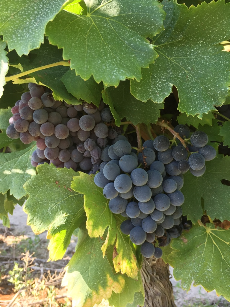 Syrah, Vignes, Maillaine, St Remy de Provence, Grapes, Cépage, vignes